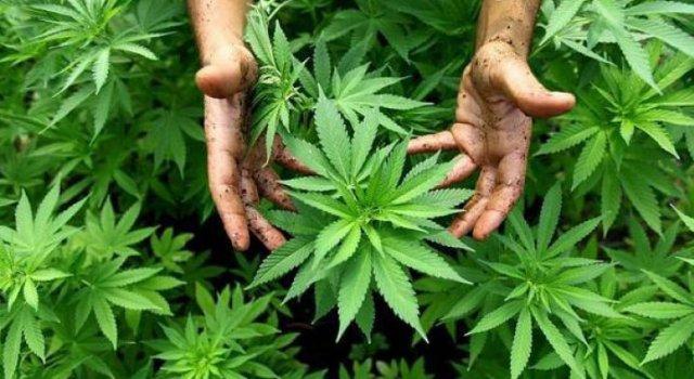 Photo of POBJEDA DJEDICE IZ PAKOŠTANA Sud mu povjerovao da je plantažu marihuane imao za liječenje gihta